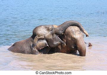 Elephant relationship - Two elephants show good relationship...