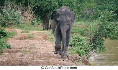 Elephant running to camera in Sri lanka national park