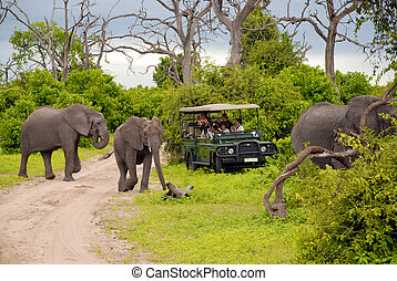 CHOBE, BOTSWANA - JANUARY, 6: Tourists on safari game drive make wonderful photo close to wild elephants on January 6, 2008 in the bush of the Chobe National Park , Botswana. Game drives are the most popular way to see wild animals in their natural habitat.