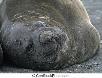 Elephant seal 10 - Elephant seal