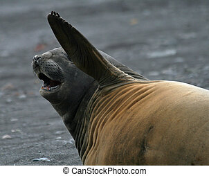 Elephant seal 11 - Elephant seal