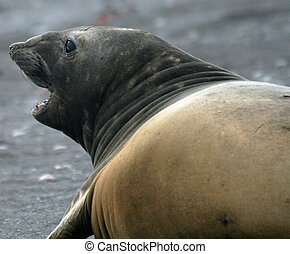 Elephant seal 12 - Elephant seal