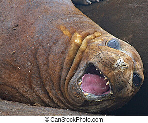 Elephant seal 14 - Elephant seal