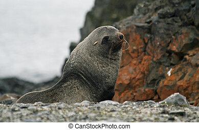 Elephant seal 2 - Elephant seal