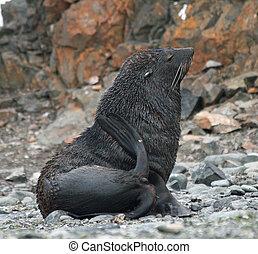 Elephant seal 5 - Elephant seal