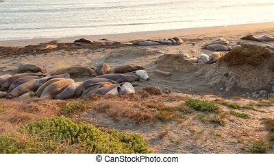 elephant seal american colony - american colony of ...