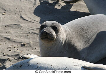 Elephant Seal at the Beach