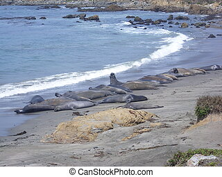 Elephant Seal colony on the beach in Big Sur. California, USA