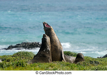 Elephant Seal fighting