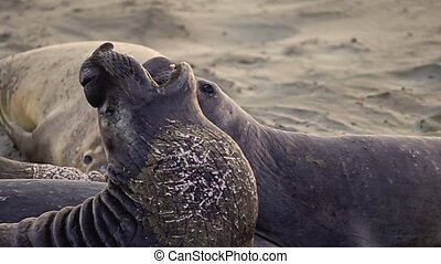 elephant seal fighting - Two male Californian elephant seal...