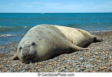 elephant seal in patagonia, argentina.
