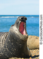 Elephant seal in Peninsula Valdes, Patagonia. - Elephant ...