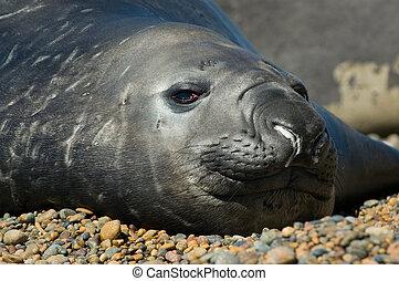 Elephant seal in the coast of Peninsula Valdes, Patagonia, Argentina.