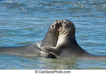 Elephant seal in Peninsula Valdes, Patagonia. - Elephant...