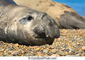 Elephant seal in Peninsula Valdes, Patagonia.