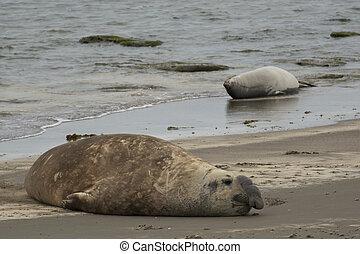 Elephant seal in Ponta Delgada