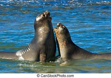 Elephant seal in the coast of Peninsula Valdes.