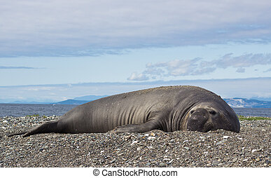 Elephant Seal lying on beach
