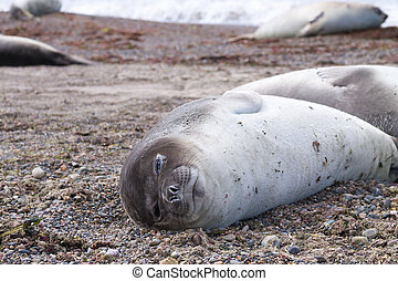 Elephant seal on beach close up, Patagonia, Argentina