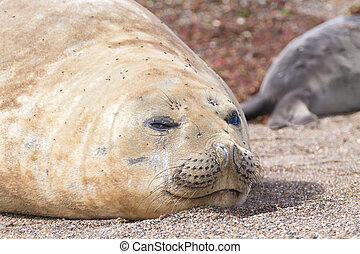 Elephant seal on beach close up, Patagonia, Argentina.  Isla...