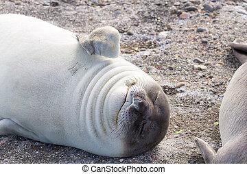Elephant seal on beach close up, Patagonia, Argentina. Isla ...