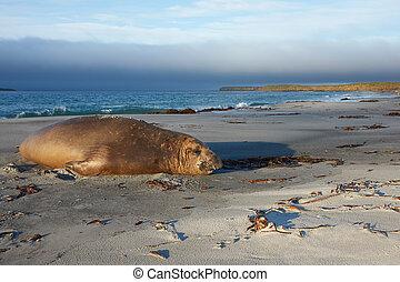 Elephant Seal - Male Southern Elephant Seal (Mirounga...