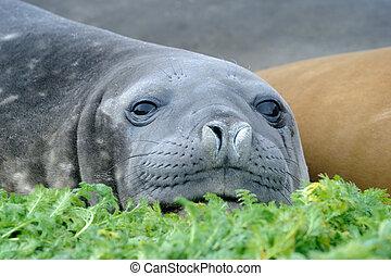 Elephant Seal relaxing
