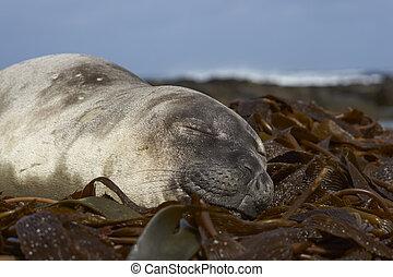 Elephant Seal sleeping - Young Southern Elephant Seal...