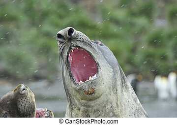Elephant Seal in South Georgia