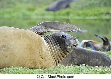 Elephant Seal on the grass