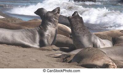 Elephant Seals Fight, Knock Into Others - Handheld, medium...