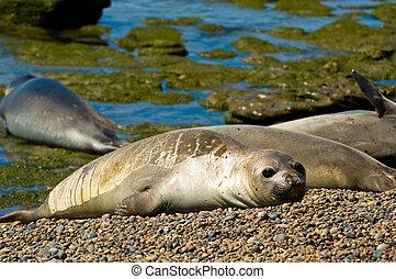 Elephant seals in Peninsula Valdes, Patagonia, Argentina.