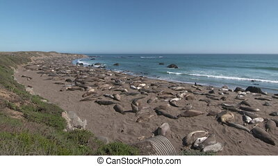 Elephant Seals Laying on Shoreline - Steady, wide shot of ...