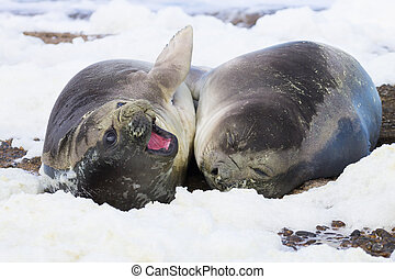 Elephant seals on beach close up, Patagonia, Argentina