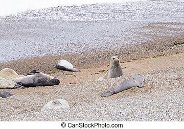 Elephant seals on Caleta Valdes beach, Patagonia, Argentina...