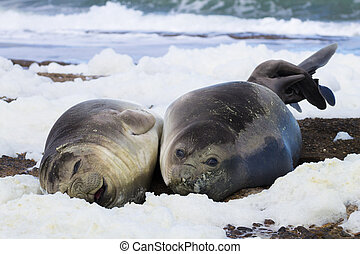Elephant seals on beach, Patagonia, Argentina.  Isla Escondida beach, Chubut province