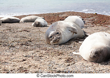 Elephant seals on Isla Escondida beach, Patagonia, Argentina...