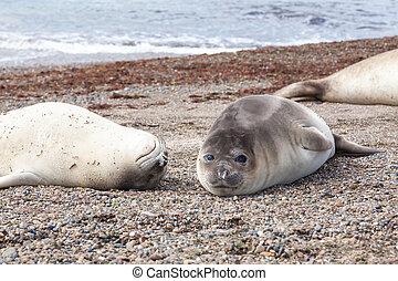 Elephant seals on Isla Escondida beach, Patagonia, Argentina