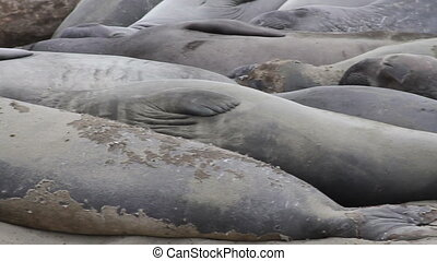 Elephant Seals Panning Shot
