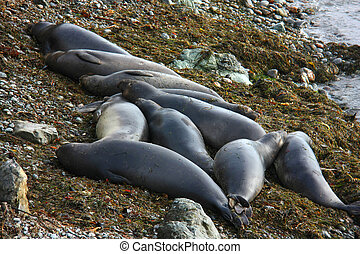 elephant seals resting on beach, California