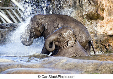 Elephant shower - Two baby elephants showering under a...