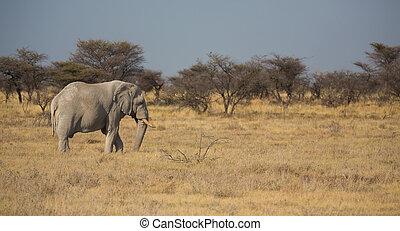 Elephant - Side view of elephant in Namib