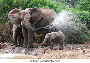 Elephant Spraying Water - African elephant mother and baby...