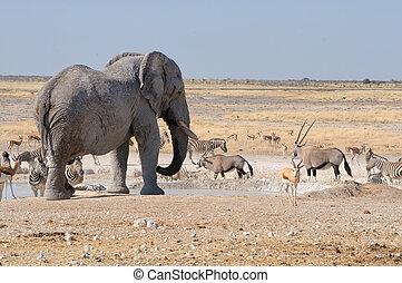 Elephant, springbok, oryx and zebras