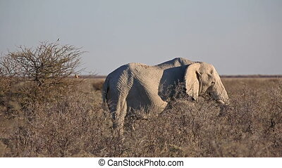Elephant standing in the savannah - Side view of elephant...