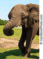 Elephant standing on the grass