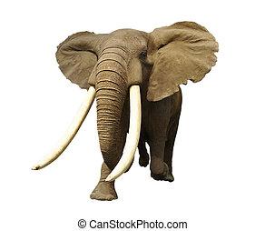 elephant - Large male African elephant