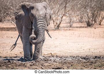 Elephant taking a mud bath.