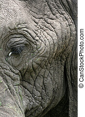 Elephant. Tanzania, Africa - Elephant - Tarangire National...