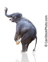 elephant throwing ball isoated on white